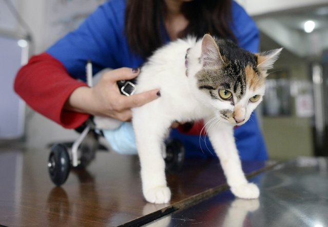 A veterinarian fits an 8-month-old cat in a prosthetic two-wheel device, at a veterinary hospital in Chongqing municipality, March 16, 2015. (Photo by Reuters/China Daily)