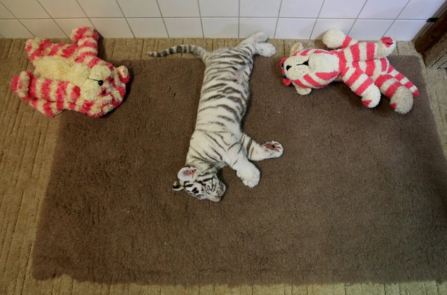 A two-month-old white bengal tiger cub sleeps at Gyor Zoo in Gyor, west of Budapest, March 20, 2015. (Photo by Bernadett Szabo/Reuters)