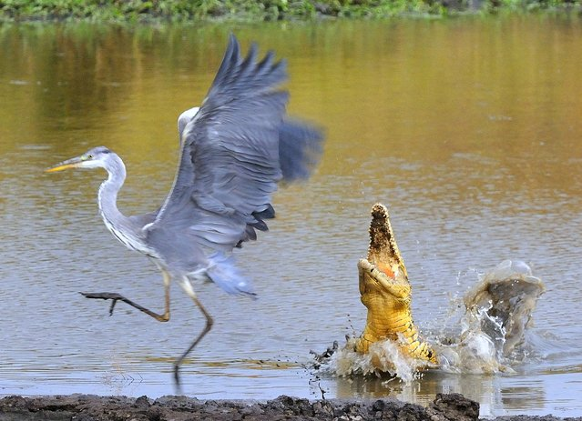 """Close call!"" The Nile Crocodile made this a risky place for a Grey Heron to fish! Photo location: Masai Mara NP, Kenya. (Photo and caption by Leslie Anderson/National Geographic Photo Contest)"