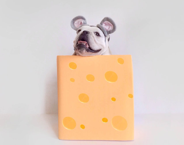Maya as olaf a mouse in a block of cheese. (Photo by Tania Ahsan/Caters News)