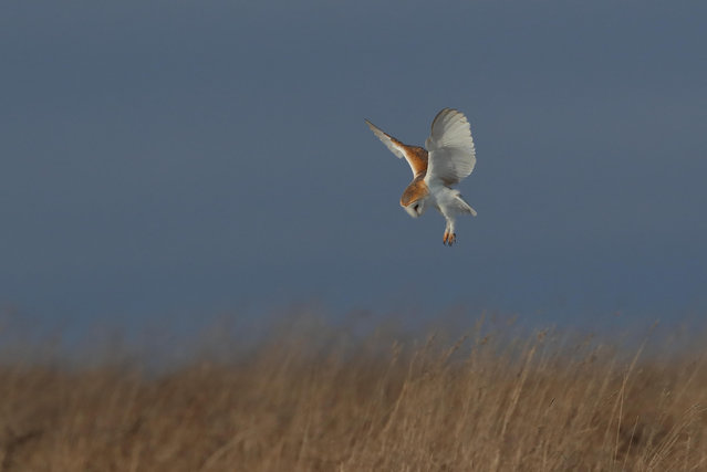 A barn owl swoops on its prey in the Cotswolds, England. (Photo by Christopher Cook/Alamy Stock Photo)