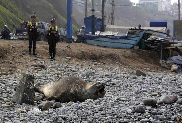An elephant seal is guarded  by police and volunteers after it was found in a sick condition on a beach at Miraflores district of Lima, March 11, 2016. (Photo by Mariana Bazo/Reuters)