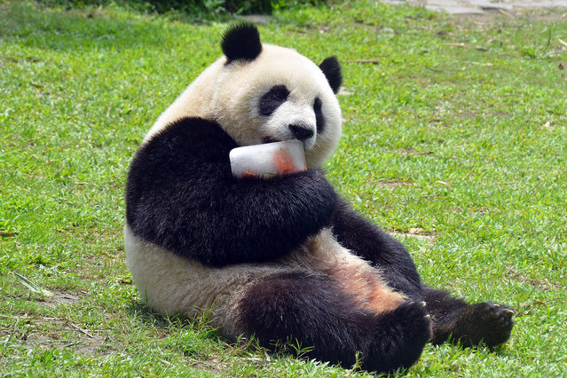 """Giant panda """"Yuanzai"""" enjoys an ice cube filled with its favorite treats at the Taipei Zoo in Taipei, southeast China's Taiwan, April 26, 2015. Taipei Zoo has been given the panda some special cooling treats due to the hot weather these days. (Photo by Xinhua/Sipa Press)"""