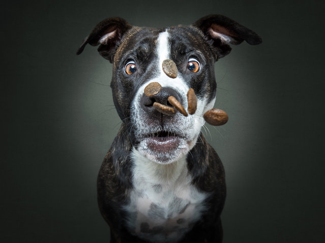 Staffie cross looks startled to get a lot of treats. (Photo by Christian Vieler/Caters News Agency)