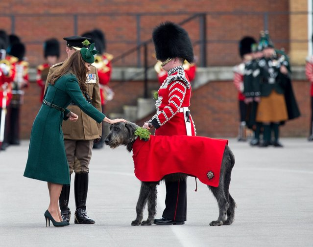 The Duchess of Cambridge presents  shamrock to the Irish Guards mascot Domhnall at their barracks in Aldershot, Hampshire, as the regiment marks St Patrick's Day, on March 17, 2014. Kate handed out the sprigs as the Duke of Cambridge, Colonel of the Irish Guards, watched the ceremony at the regiment's base Mons Barracks. (Photo by Steve Parsons/PA Wire)