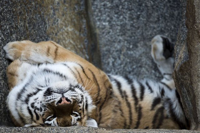 A Siberian tiger lies on its back in its enclosure at Berlin's Tierpark zoo on March 27, 2014. (Photo by John MacDougall/AFP Photo)