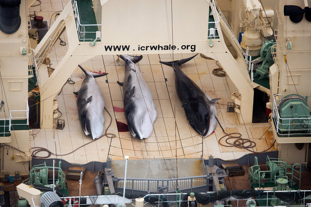 In this file photo taken on Sunday, Jan. 5, 2014 and supplied by Sea Shepherd Australia on Monday, January 6, 2014, three dead minke whales lie on the deck of the Japanese whaling vessel Nisshin Maru, in the Southern Ocean. The International Court of Justice is ruling Monday on Japan's whaling program in Antarctic waters, in a case brought by Australia. (Photo by Tim Watters/AP Photo/Sea Shepherd Australia)