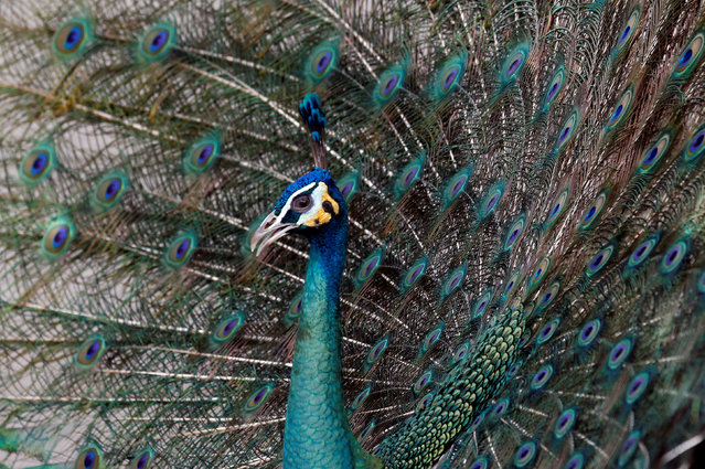 A peacock spreading its feathers is seen at the Wat Phra Dhammakaya temple, in Pathum Thani province, Thailand March 10, 2017. (Photo by Chaiwat Subprasom/Reuters)