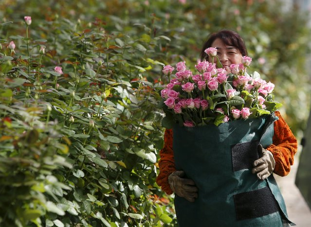 "An employee carries roses at the ""Podosinki"" greenhouse complex in the village of Orudyevo north of Moscow, Russia, August 11, 2015. The Russian complex was built in cooperation with Dutch companies, Bulneth and Dalsem Horticyltyral Projects B.V. (Dalsem Horticultural Projects B.V.), and now breeds high-class roses guided by the Dutch technology, according to the official web site. (Photo by Sergei Karpukhin/Reuters)"