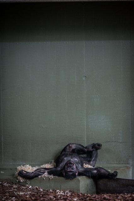 Chimpanzee, Denmark, 2016. (Photo by Jo-Anne McArthur/Born Free Foundation/The Guardian)
