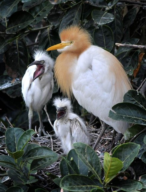 A grey egret with her newborn chicks sits on her nest on the banks of the Brahmaputra River in Guwahati, India on May 25, 2012