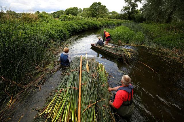 Craftsmen from Waveney Rush walk bulrushes along the River Waveney in Homersfield, Suffolk, UK on August 14, 2016. The reed will be used to create handcrafted bespoke carpets and baskets. (Photo by Chris Radburn/PA Wire)