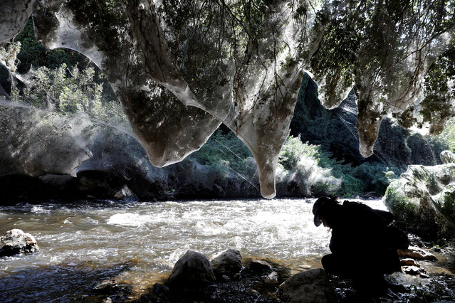 Igor Armicach, a doctoral student at Hebrew University's Arachnid Collection, looks onto giant spider webs, spun by long-jawed spiders (Tetragnatha), covering sections of the vegetation along the Soreq creek bank, near Jerusalem, Israel on November 7, 2017. (Photo by Ronen Zvulun/Reuters)