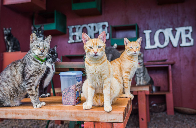 Cats sit next to cat treats in the shade at the Lanai Cat Sanctuary in Hawaii. (Photo by Andrew Marttila/Caters News Agency)