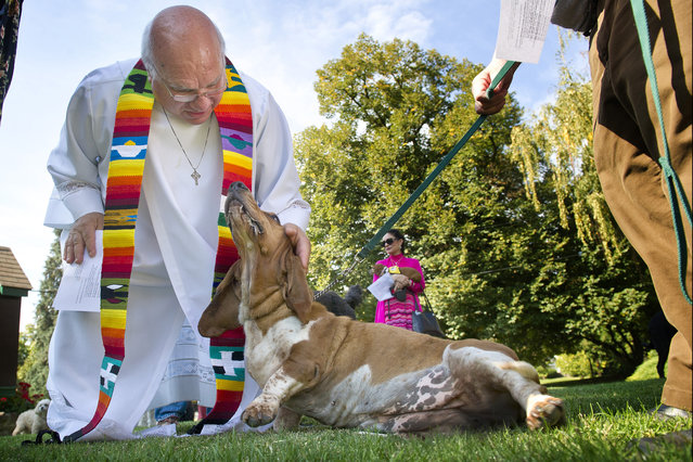 Rev. Peter Kalunian and EZ, a 5-yr-old bassett hound, share a little love before Kalunian pronounced a blessing on her during The Blessing of the Animals Sunday, October 4, 2015, at St. Paul's Episcopal Church in Walla Walla, Wash.. The Blessing is an annual event on St Francis (of Assisi) Day. EZ is owned by Cliff Ferguson. (Photo by Greg Lehman/Walla Walla Union-Bulletin via AP Photo)