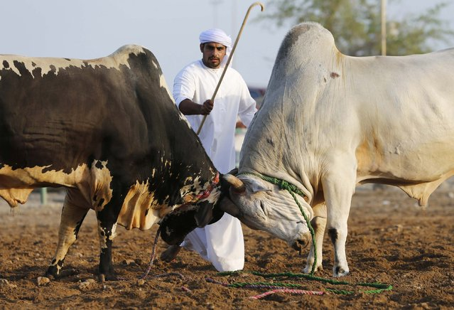 A man tries to stop two bulls from locking horns during a bullfight in the eastern emirate of Fujairah October 17, 2014. There are no matadors or picadors, but bulls locking horns with each other draw big crowds to bullfights in the United Arab Emirates (UAE). (Photo by Ahmed Jadallah/Reuters)