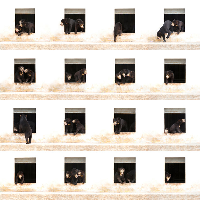 """""""Bear Apartment Six"""" is a composite made up of 16 photographs of three sun bear cubs at Free the Bears Fund's enclosure number six in Cambodia photographed over 90 consecutive minutes in June 2016. Each bear was rescued from the illegal wildlife trade when they were only a few months old. (Photo by Alexandra Cearns/Sony World Photography Awards)"""