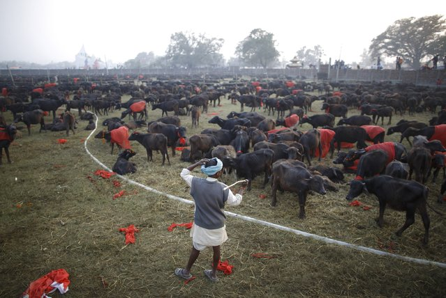 """A herder stands inside an enclosure for buffalos awaiting sacrifice on the eve of the sacrificial ceremony for the """"Gadhimai Mela"""" festival in Bariyapur November 27, 2014. (Photo by Navesh Chitrakar/Reuters)"""