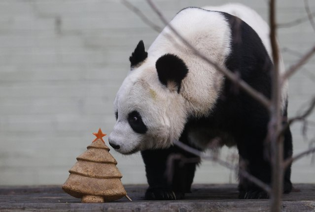 Tian Tian, a  giant panda eats a special Christmas Panda cake crafted in the shape of a Christmas tree in the outdoor enclosure at Edinburgh Zoo, Scotland December 17, 2014. (Photo by Russell Cheyne/Reuters)