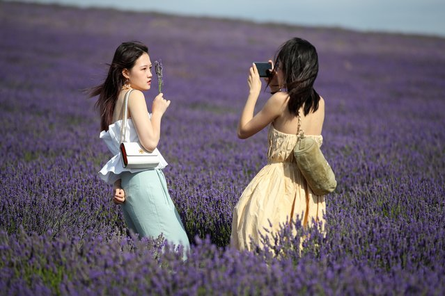 A woman poses for a photo at Hitchin Lavender farm in Ickleford, Britain, August 4, 2020. (Photo by Peter Cziborra/Reuters)