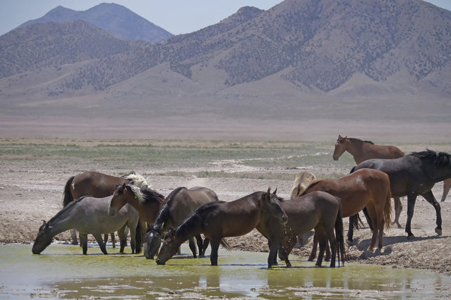 In this June 29, 2018 photo, wild horses drink from a watering hole outside Salt Lake City. (Photo by Rick Bowmer/AP Photo)