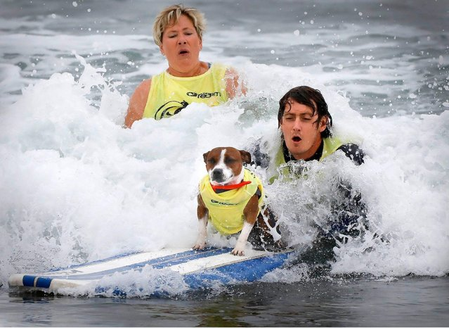 """""""Roomba"""", rides the waves during the 2018 Imperial Beach Surf Dog Competition next to the Imperial Beach Pier in San Diego, California on July 28, 2018. (Photo by Howard Lipin/San Diego Union-Tribune via ZUMA Press/Rex Features/Shutterstock)"""