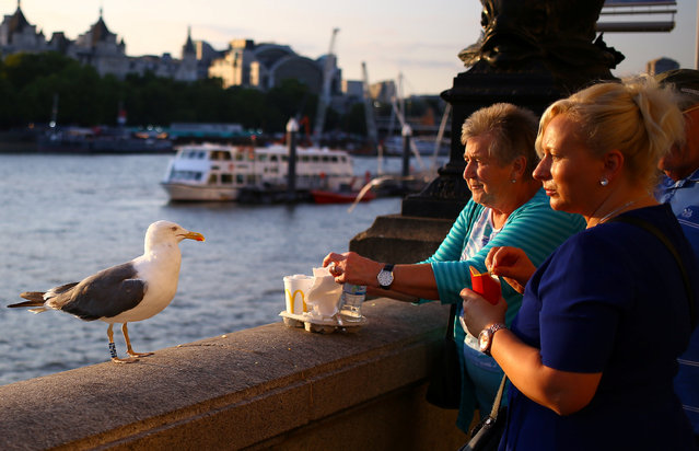 A gull waits to be fed by tourists on the banks of the River Thames in London, Britain on August 21, 2018. (Photo by Phil Noble/Reuters)