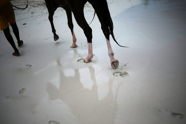 A handler exits the waters of the Caribbean Sea after bathing a horse from the Garrison Savannah in Bridgetown, Barbados November 30, 2016. (Photo by Adrees Latif/Reuters)