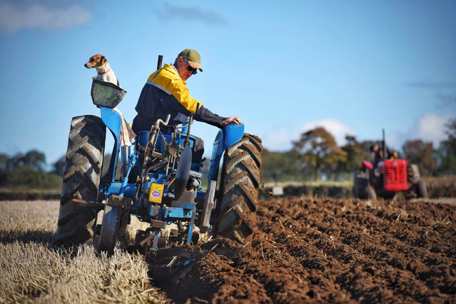 Jack Russell Jed with his owner Donald Walker on board a 1959 Fordson Dexta 40 as around 40 vintage tractors and ploughs turn over the soil in the Northern Vintage Area Ploughing Final being held on the Chipchase Castle estate near Hexham, Northumberland, UK on September 23, 2018. The finest ploughmen from across the north of England put their plough blades to the test mounted to their vintage machine tractors during the prestigious event. (Photo by Paul Kingston/NNP)