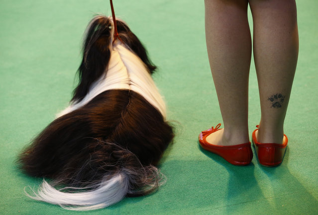 A handler with a paw print tattoo on her leg shows a Shih Tzu during the last day of the Crufts Dog Show in Birmingham, central England March 8, 2015. (REUTERS/Darren Staples)