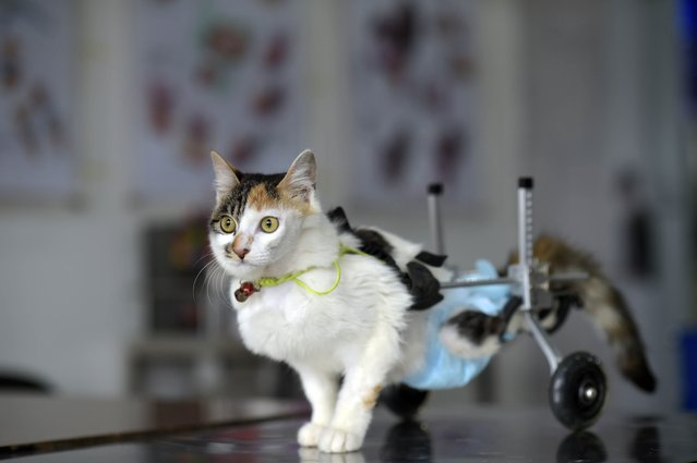 "This picture taken on March 16, 2015 shows 8 month old cat Hei Hudie meaning ""black butterfly"" with a special walking aid in a pet hospital in China's southwest Chongqing municipality. With the help of some good Samaritans, Hei Hudie had four surgeries within five months after it fell from the tenth floor of a building, and finally managed to live on with both of its hind legs disabled. (Photo by AFP Photo)"
