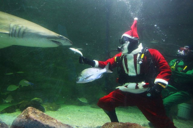 Santa Claus feeds a shark during a visit to the Manly Sea Life Sanctuary on December 18, 2013 in Sydney, Australia. (Photo by Lisa Maree Williams/Getty Images)