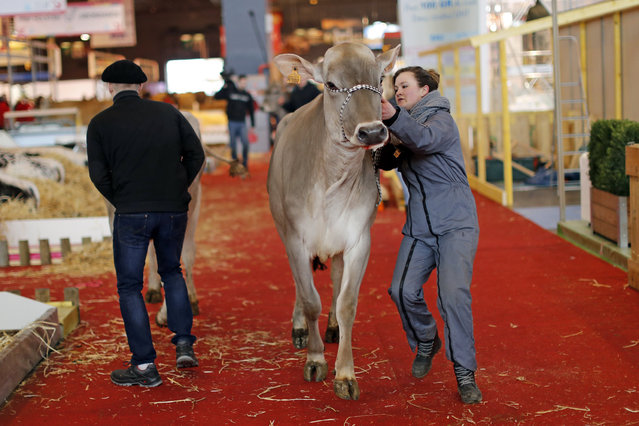 A French farmer leads her cow through the livestock area as preparations continue on the eve of the opening of the International Agricultural Show in Paris, France, February 26, 2016. The Paris Farm Show runs from February 27 to March 6, 2016. (Photo by Benoit Tessier/Reuters)