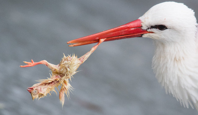 A white stork (Ciconia ciconia) eats in the free flight aviary in the bison enclosure a day-old chick thrown to him for food in Lower Saxony, Springe on February 5, 2019. Currently in Germany alone, 45 million male chicks are killed every year in the breeding of laying hens because they do not lay eggs and do not prepare as much meat as broiler chickens. The so-called day-old chicks are also used as animal feed. (Photo by Julian Stratenschulte/dpa)