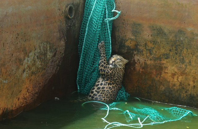 A fully grown male wild leopard climbs a net after it fell into a water reservoir tank at a tea estate in Haskhowa, some 45 kms from Siliguri, on June 20, 2012. The animal was rescued by the Sukna Forest rescue team from the Mahananda Wildlife sanctuary by lowering a ladder and a net into the tank. (Photo by Diptendu Dutta/AFP Photo)