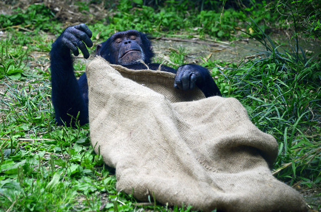 A Chimpanzee is sleeping  at a zoo in Chengdu, Sichuan province, Southwest China 28th April 2015. (Photo by Yong Wang/ZUMAPress)