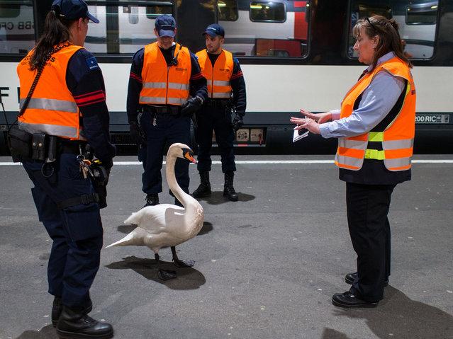 """""""Swan in Zürich"""". (Photo by Guido Gloor Modjib)"""