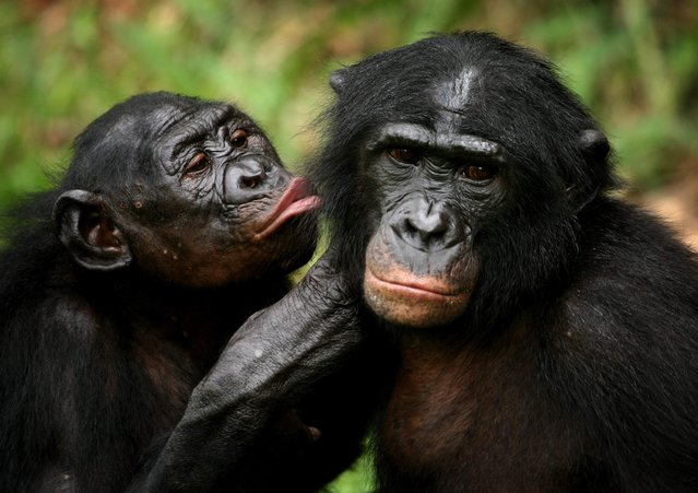 Bonobo apes, primates unique to Congo and humankind's closest relative, groom one another at a sanctuary just outside the capital Kinshasa, Congo on October 31, 2006. (Photo by Finbarr O'Reilly/Reuters)