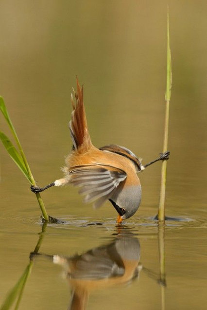 Bearded Tit Bird By Edwin Kats