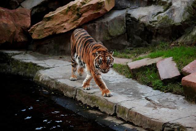 Asmara, a female sumatran tiger (Panthera tigris sumatrae), walks in her enclosure at Bioparc Fuengirola in Fuengirola, near Malaga, southern Spain, February 8, 2017. (Photo by Jon Nazca/Reuters)