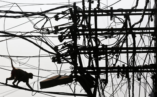 A macaque monkey walks along electricity cables in Old Delhi, India February 9, 2017. (Photo by Cathal McNaughton/Reuters)