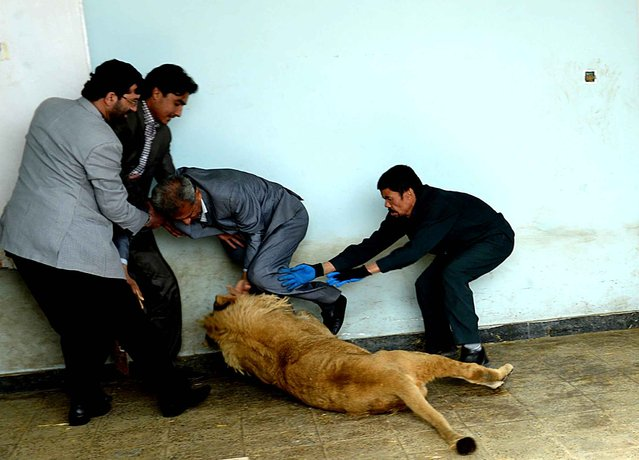 Afghan zookeeper plays with male lion Marjan at Kabul Zoo in Kabul on March 18, 2014
