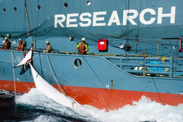 "This file handout photo taken on February 15, 2013 and received on February 18 from Sea Shepherd Australia Ltd. shows Japanese whaling fleet's harpoon vessel Yushin Maru No. 2, with a minke whale in the Southern Ocean. The UN's top court on March 31, 2014 ordered Japan to end its annual Antarctic whale hunt, saying in a landmark ruling that the programme was a commercial activity disguised as science. Japan responded by saying it would respect the International Court of Justice order to end its annual Antarctic whale hunt, despite ""deep disappointment"" with the landmark decision. (Photo by Glenn Lockitch/AFP Photo)"