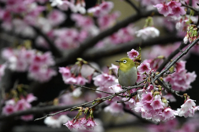 A Japanese White- eye (Zosterops japonicus) sits on a Kanzakura tree in Taipei on March 9, 2017. (Photo by Sam Yeh/AFP Photo)