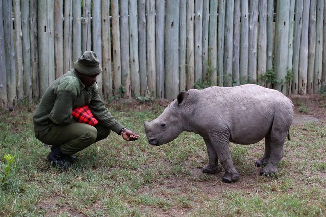 A wildlife ranger plays with a small southern white rhino, ahead of the Giants Club Summit of African leaders and others on tackling poaching of elephants and rhinos, Ol Pejeta conservancy near the town of Nanyuki, Laikipia County, Kenya, April 28, 2016. (Photo by Siegfried Modola/Reuters)