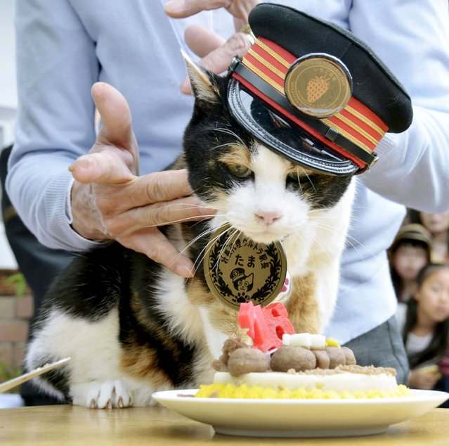 Tama, a cat stationmaster of a railway station in western Japan, receives a birthday cake on her 16th birthday in Kinokawa, western Japan, in this Kyodo picture taken April 29, 2015. The female tortoiseshell cat died June 22, 2015, at a local animal hospital aged 16 years and two months, the equivalent of about 80 years in human age, Wakayama Electric Railway Co. said June 24, 2015, Kyodo news reported. (Photo by Reuters/Kyodo News)
