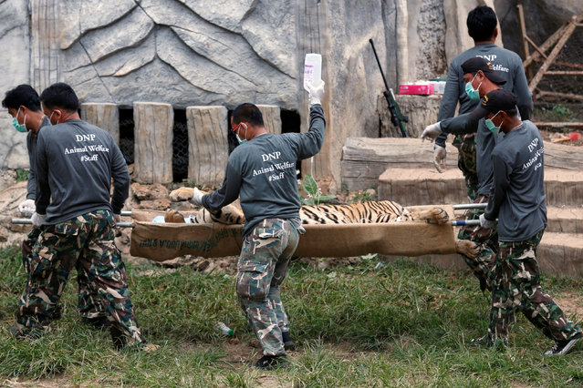 A sedated tiger is stretchered as officials start moving tigers from Tiger Temple, May 30, 2016. The Buddhist temple in Kanchanaburi province west of Bangkok has more than 100 tigers and has become a tourist destination where visitors take selfies with tigers and bottle-feed their cubs. (Photo by Chaiwat Subprasom/Reuters)