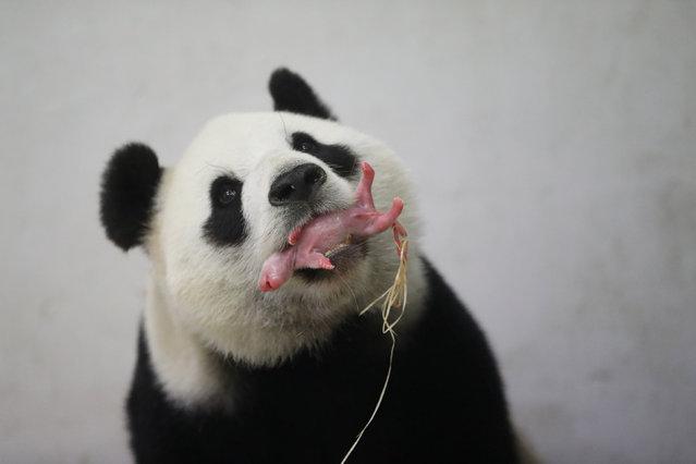 A baby panda is pictured at the Pairi Daiza wildlife park in Brugelette, Belgium June 2, 2016. (Photo by Benoit Bouchez/Reuters/Pairi Daiza)
