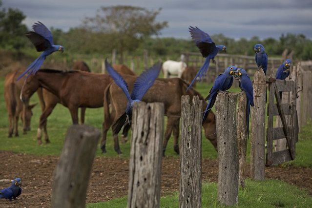 In this May 16, 2017 photo, Araras ,or Macaws, are seen at a ranch in Corumba, in the Pantanal wetlands of Mato Grosso do Sul state, Brazil. At different moments during a cowboy round-up, they crosses paths with macaws, deer and pit vipers, all seemingly unfazed by their presence. (Photo by Eraldo Peres/AP Photo)