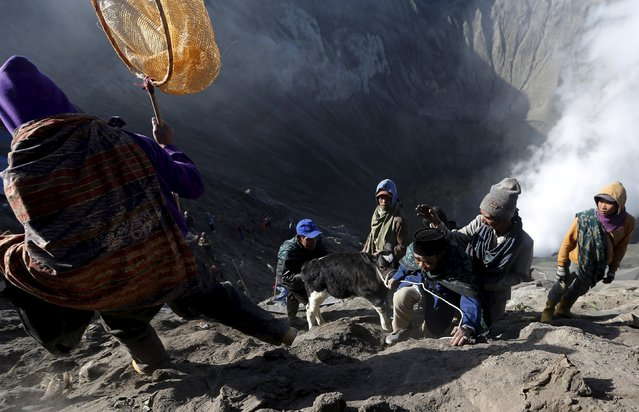 Villagers drag a cow to climb up after catching it shortly after Hindu worshippers threw the animal into the crater of Mount Bromo during the Kasada Festival in Probolinggo, Indonesia's East Java province, August 1, 2015. (Photo by Reuters/Beawiharta)